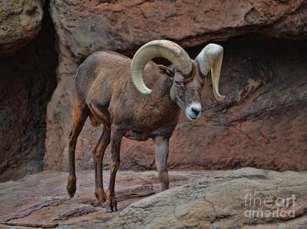 Desert Bighorn Sheep Ram I Art Print