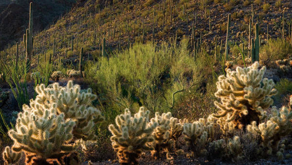 Wall Art - Photograph - Desert Cactus Panorama  by Dave Dilli