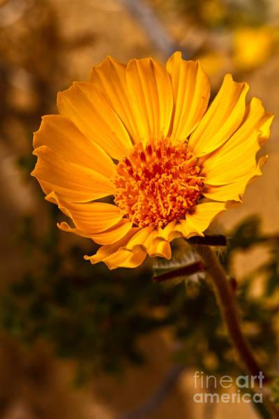 Wall Art - Photograph - The Desert Sunflower by Robert Bales