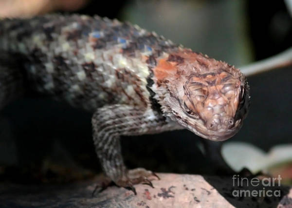 Photograph - Desert Lizard by Carol Groenen