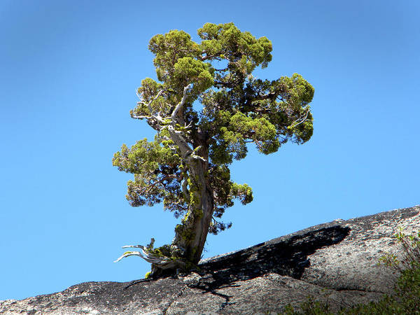 Photograph - Determined Tree by Frank Wilson