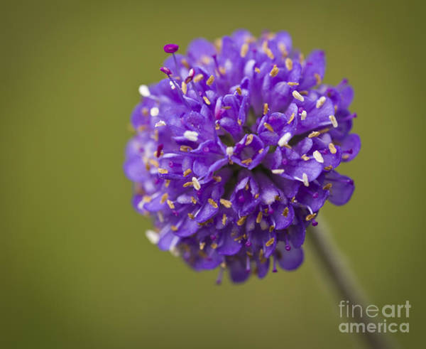 Photograph - Devil's Bit Scabious by Clare Bambers