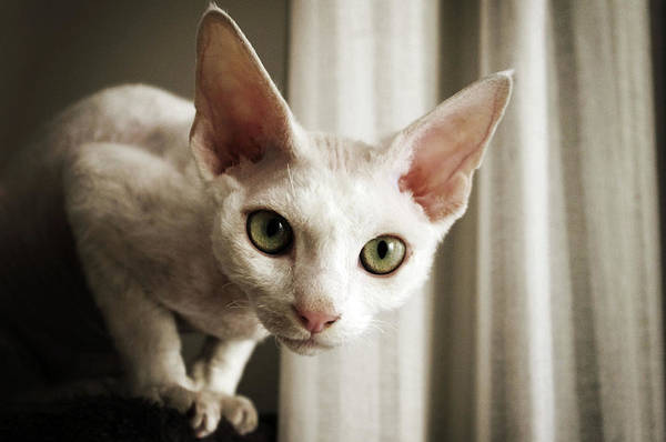 Staring Photograph - Devon Rex Cat Looking At Camera by Troydays