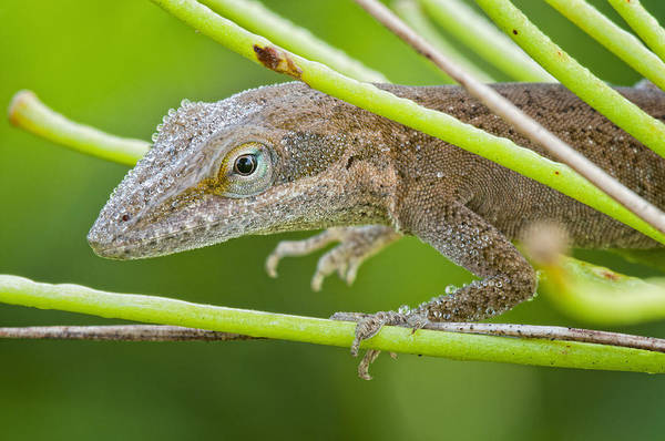 Green Anole Photograph - Dew Drenched Lizard On A Foggy Morning by Bonnie Barry