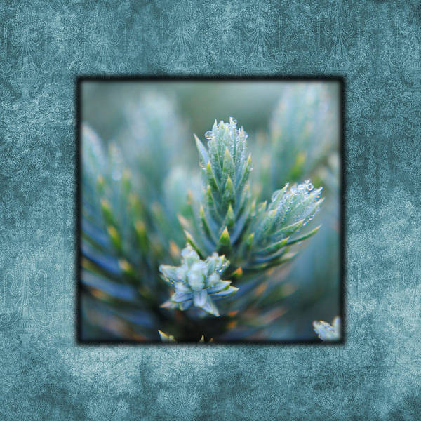 Photograph - Dew On The Pine II Photo Square by Jai Johnson