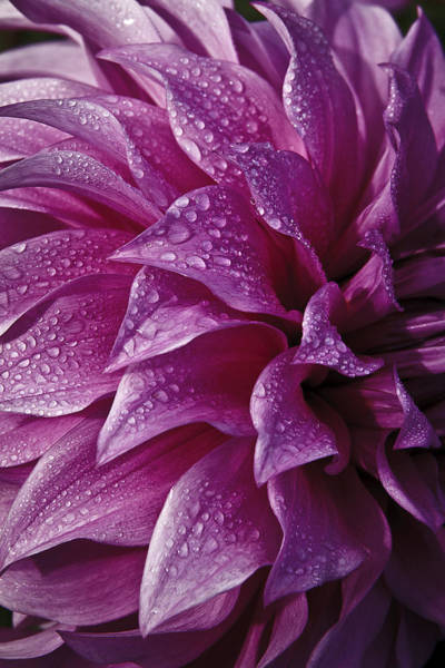 Photograph - Dewy Dahlia by Wes and Dotty Weber