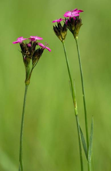 Carthusian Photograph - Dianthus Carthusianorum by Bob Gibbons