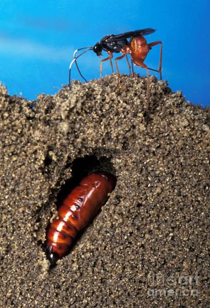 Corn Earworm Wall Art - Photograph - Diapetimorpha Introita Wasp by Science Source