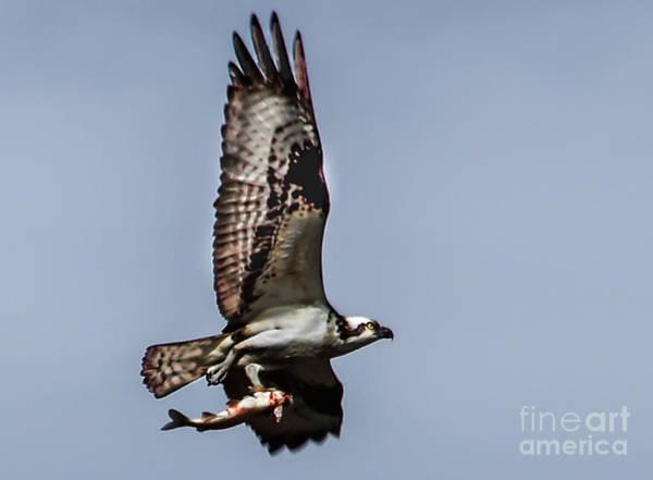 Sea Hawk Photograph - Dinner by Robert Bales