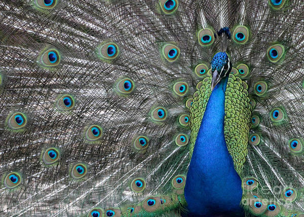 Photograph - Diva Peacock by Sabrina L Ryan