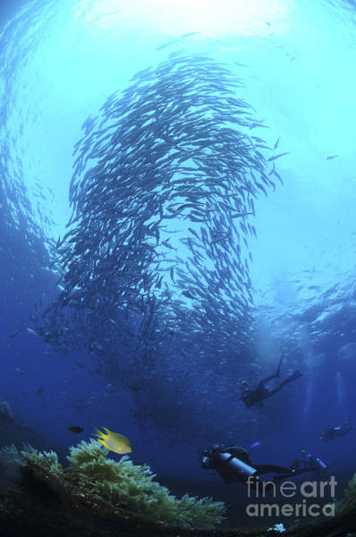 Trevally Photograph - Divers Photographing A School by Mathieu Meur