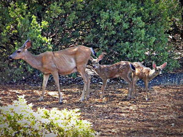 Photograph - Doe And Twin Fawns by Frank Wilson