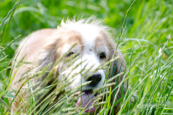 Cocker Spaniel Photograph - Dog In The Green Grass by Mats Silvan