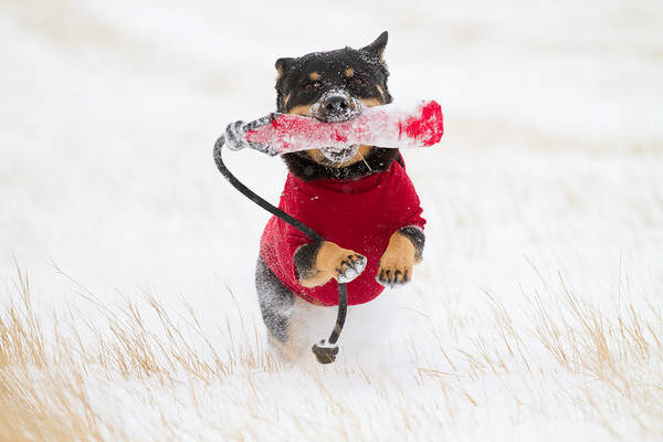 Lethbridge Photograph - Dog Playing In Snow by Paws on the Run Photography
