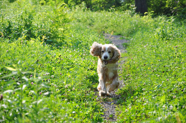 Cocker Spaniel Photograph - Dog Running In The Green Field by Mats Silvan