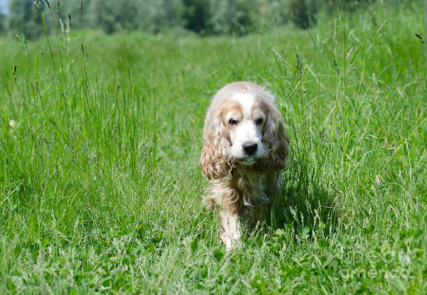 Cocker Spaniel Photograph - Dog Walking On The Green Field by Mats Silvan