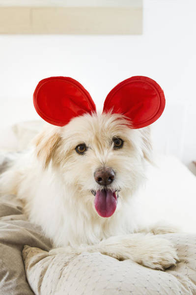 Headband Photograph - Dog Wearing Toy Ears On Bed by Emely