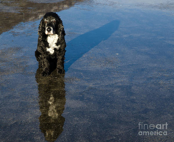 Cocker Spaniel Photograph - Dog With Reflections And Shadow by Mats Silvan