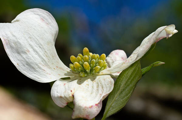 Photograph - Dogwood Bloom by Lori Coleman