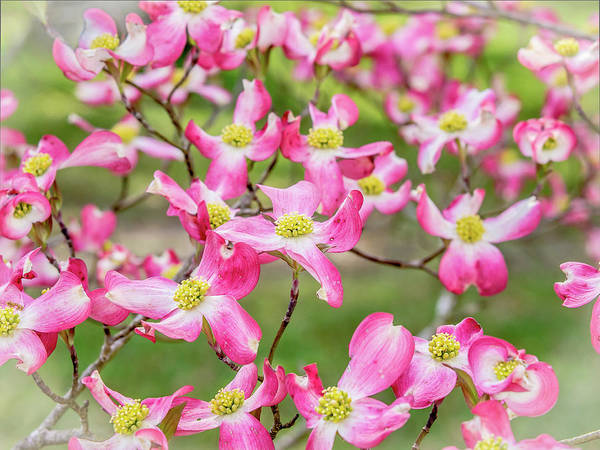 Photograph - Dogwood In Bloom by Mike Covington