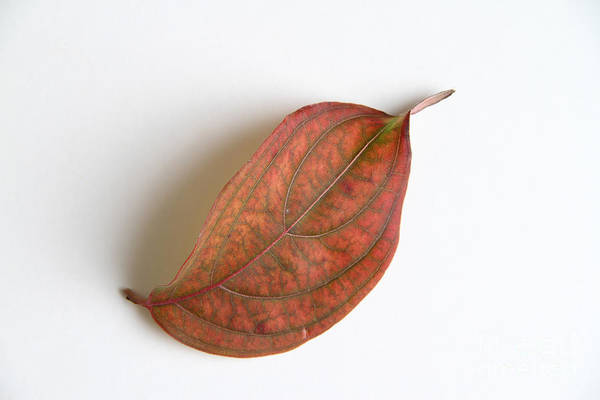 Photograph - Dogwood Leaf by Photo Researchers