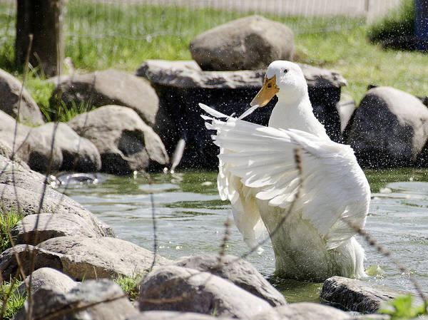 Duck Meat Photograph - Doin The Duck Splash by LeeAnn McLaneGoetz McLaneGoetzStudioLLCcom