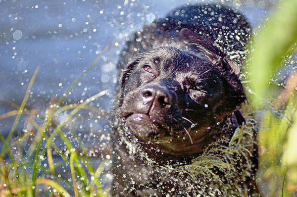 Black Lab Photograph - Doing The Shake by Susan Capuano