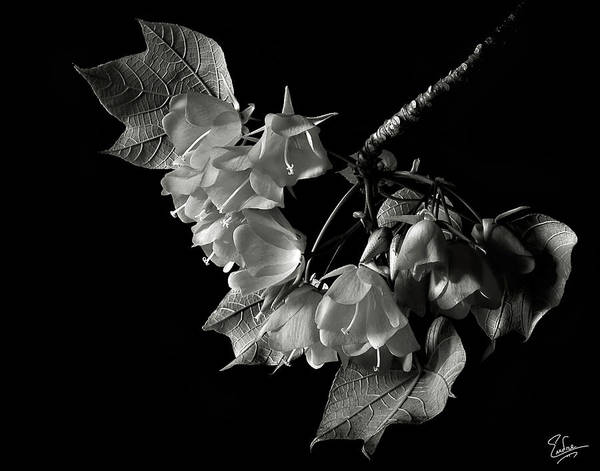 Wall Art - Photograph - Dombeya In Black And White by Endre Balogh