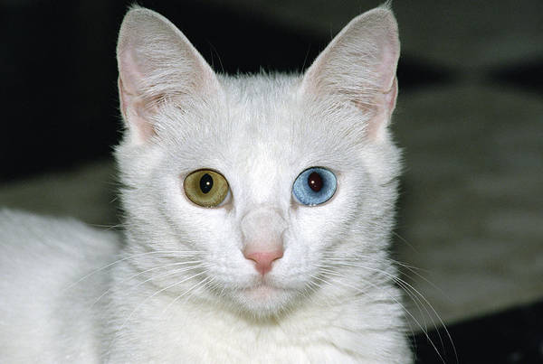 Photograph - Domestic Cat Felis Catus White Adult by Konrad Wothe