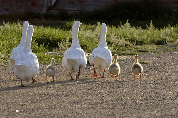 Gosling Photograph - Domestic Geese With Goslings by Mark Duffy