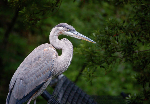 Photograph - Don't Fence Me In - Blue Heron by Donna Proctor