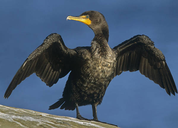 Phalacrocorax Auritus Wall Art - Photograph - Double Crested Cormorant Drying by Tim Fitzharris