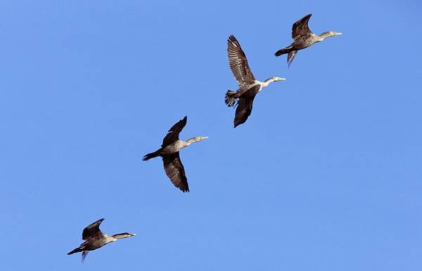 Phalacrocorax Auritus Wall Art - Photograph - Double-crested Cormorants by Bob Gibbons