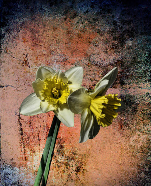 Dafodil Photograph - Double Daf by Rick Friedle