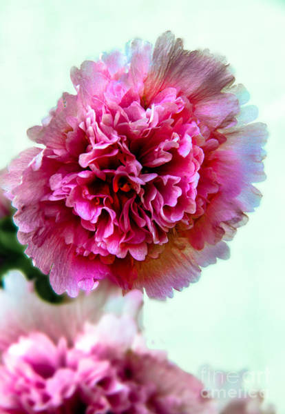 Double Hollyhock Art Print