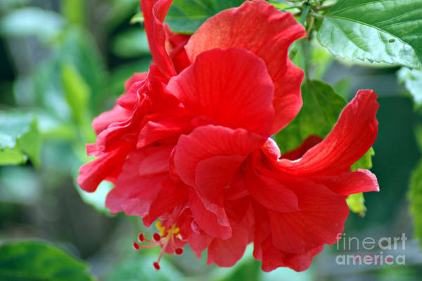 Photograph - Double Red Hibiscus by Donna Bentley
