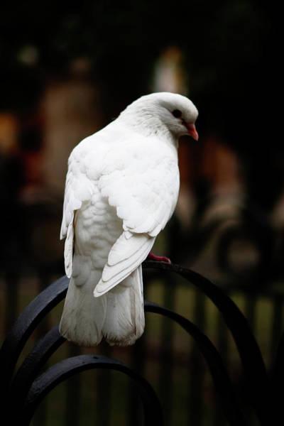 Photograph - Dove In Repose by Lorraine Devon Wilke