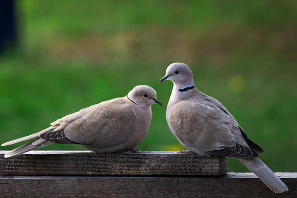 Photograph - Doves by Ivan Slosar