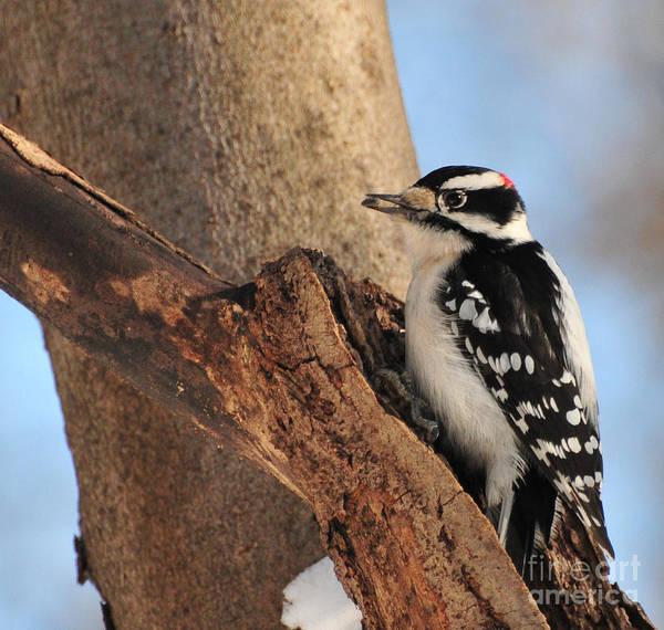 Wildbird Photograph - Downey Woodpecker by Paul Ward