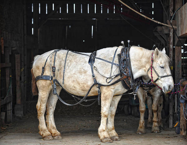 Plow Horses Photograph - Draft Horse In The Barn by Brian Mollenkopf