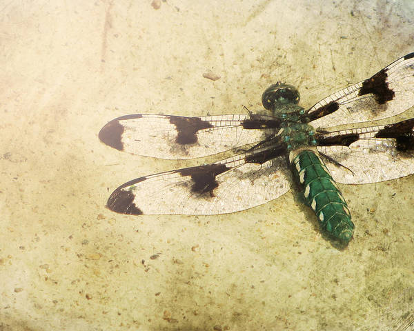 Dragonflies Photograph - Dragon In The Sun by Amy Tyler