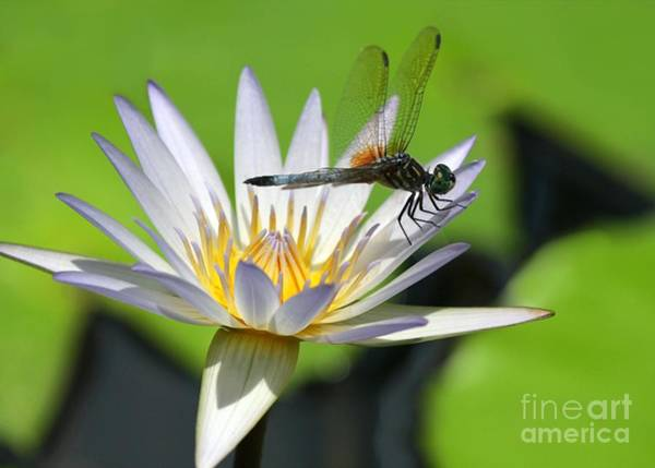 Photograph - Dragonfly And The Water Lily by Sabrina L Ryan