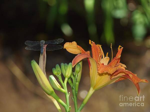 Tigerlily Wall Art - Photograph - Dragonfly And Tigerlily by Frank Piercy