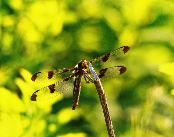 Dragonflies Photograph - Dragonfly In Green by Susan Capuano