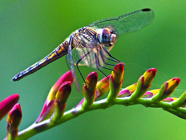 Photograph - Dragonfly by Jean Noren