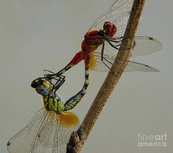 Photograph - Dragonfly Love by Mareko Marciniak