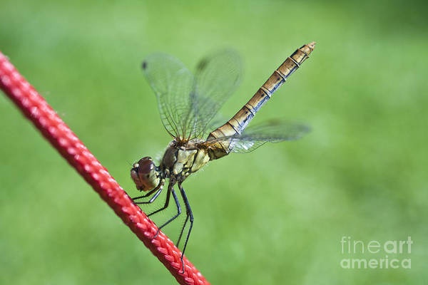 Photograph - Dragonfly On A String by Heiko Koehrer-Wagner
