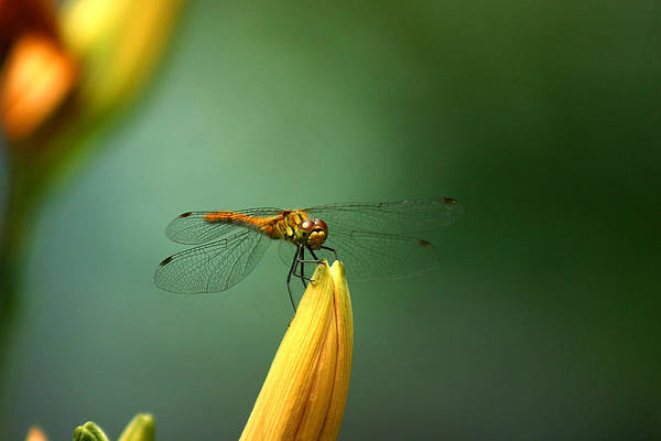 Photograph - Dragonfly On Lily Flower by Emanuel Tanjala