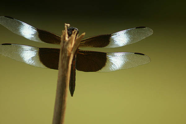 Photograph - Dragonfly Wings by Emanuel Tanjala