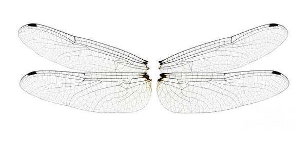 Pterygota Wall Art - Photograph - Dragonfly Wings by Raul Gonzalez Perez